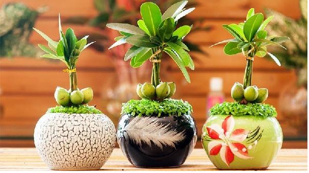 Người mệnh kim nên chọn cây tài lộc trồng trong nhà