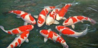 Ý nghĩa của các loài cá trong phong thủy