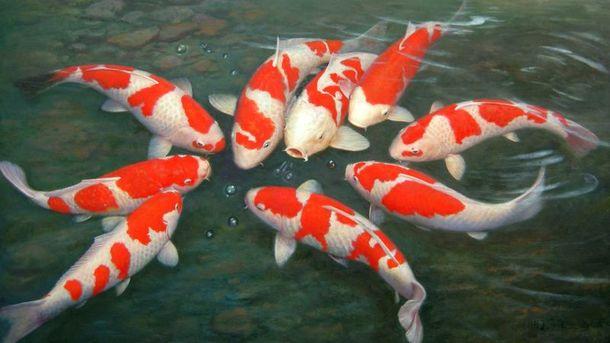 Cá chép nhật giúp mang đến nhiều vận may cho gia chủ