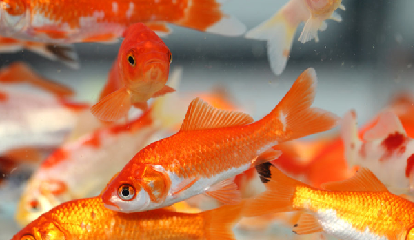 Ý nghĩa phong thủy cá chép vàng
