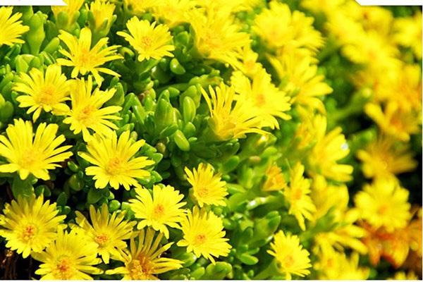 Hoa cúc vàng - loài hoa nên có trong ngày tết