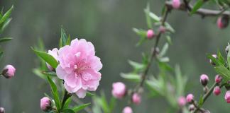 Hoa đào một trong những loài hoa nên có trong ngày tết