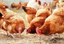 Mơ thấy con gà đánh con gì chính xác?